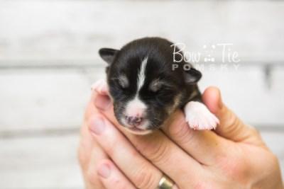 puppy55 week1 BowTiePomsky.com Bowtie Pomsky Puppy For Sale Husky Pomeranian Mini Dog Spokane WA Breeder Blue Eyes Pomskies web7