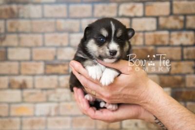 puppy55 week3 BowTiePomsky.com Bowtie Pomsky Puppy For Sale Husky Pomeranian Mini Dog Spokane WA Breeder Blue Eyes Pomskies web2