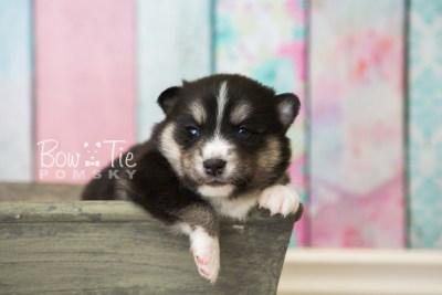 puppy55 week3 BowTiePomsky.com Bowtie Pomsky Puppy For Sale Husky Pomeranian Mini Dog Spokane WA Breeder Blue Eyes Pomskies web3