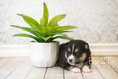 puppy55 week3 BowTiePomsky.com Bowtie Pomsky Puppy For Sale Husky Pomeranian Mini Dog Spokane WA Breeder Blue Eyes Pomskies web6