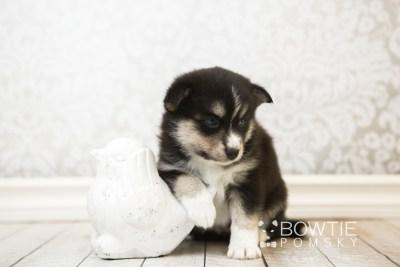 puppy55 week5 BowTiePomsky.com Bowtie Pomsky Puppy For Sale Husky Pomeranian Mini Dog Spokane WA Breeder Blue Eyes Pomskies web2