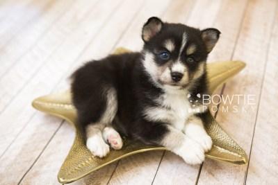 puppy55 week5 BowTiePomsky.com Bowtie Pomsky Puppy For Sale Husky Pomeranian Mini Dog Spokane WA Breeder Blue Eyes Pomskies web4