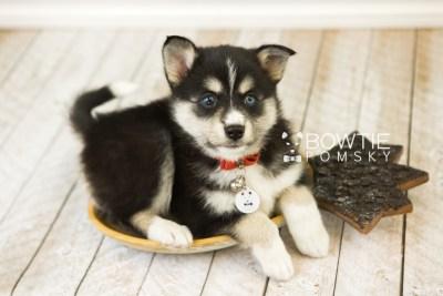 puppy55 week7 BowTiePomsky.com Bowtie Pomsky Puppy For Sale Husky Pomeranian Mini Dog Spokane WA Breeder Blue Eyes Pomskies web1