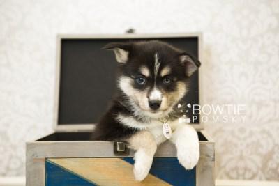 puppy55 week7 BowTiePomsky.com Bowtie Pomsky Puppy For Sale Husky Pomeranian Mini Dog Spokane WA Breeder Blue Eyes Pomskies web6
