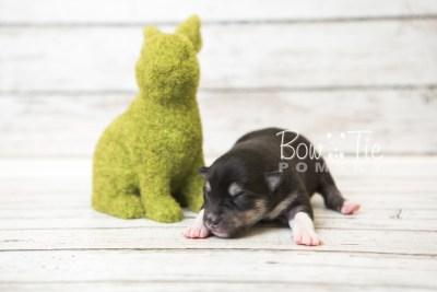 puppy56 week1 BowTiePomsky.com Bowtie Pomsky Puppy For Sale Husky Pomeranian Mini Dog Spokane WA Breeder Blue Eyes Pomskies web3