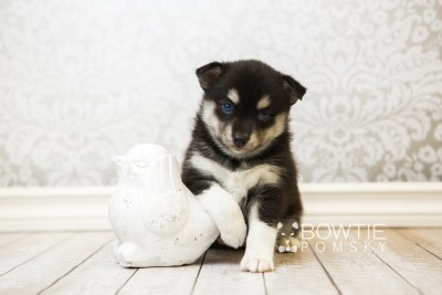 puppy56 week5 BowTiePomsky.com Bowtie Pomsky Puppy For Sale Husky Pomeranian Mini Dog Spokane WA Breeder Blue Eyes Pomskies web5