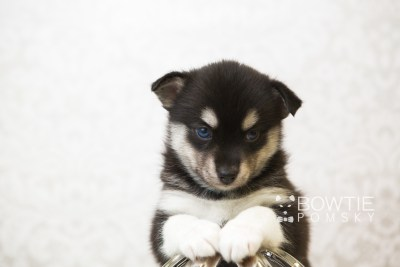 puppy56 week5 BowTiePomsky.com Bowtie Pomsky Puppy For Sale Husky Pomeranian Mini Dog Spokane WA Breeder Blue Eyes Pomskies web6