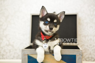 puppy56 week7 BowTiePomsky.com Bowtie Pomsky Puppy For Sale Husky Pomeranian Mini Dog Spokane WA Breeder Blue Eyes Pomskies web1
