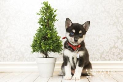 puppy56 week7 BowTiePomsky.com Bowtie Pomsky Puppy For Sale Husky Pomeranian Mini Dog Spokane WA Breeder Blue Eyes Pomskies web2