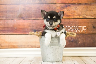 puppy56 week7 BowTiePomsky.com Bowtie Pomsky Puppy For Sale Husky Pomeranian Mini Dog Spokane WA Breeder Blue Eyes Pomskies web6