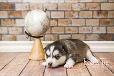 puppy57 week3 BowTiePomsky.com Bowtie Pomsky Puppy For Sale Husky Pomeranian Mini Dog Spokane WA Breeder Blue Eyes Pomskies web1