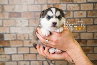 puppy57 week3 BowTiePomsky.com Bowtie Pomsky Puppy For Sale Husky Pomeranian Mini Dog Spokane WA Breeder Blue Eyes Pomskies web2