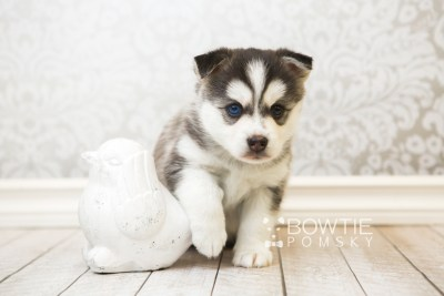 puppy57 week5 BowTiePomsky.com Bowtie Pomsky Puppy For Sale Husky Pomeranian Mini Dog Spokane WA Breeder Blue Eyes Pomskies web2