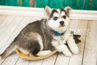 puppy57 week7 BowTiePomsky.com Bowtie Pomsky Puppy For Sale Husky Pomeranian Mini Dog Spokane WA Breeder Blue Eyes Pomskies web1