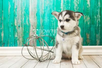 puppy57 week7 BowTiePomsky.com Bowtie Pomsky Puppy For Sale Husky Pomeranian Mini Dog Spokane WA Breeder Blue Eyes Pomskies web2