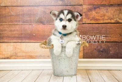 puppy57 week7 BowTiePomsky.com Bowtie Pomsky Puppy For Sale Husky Pomeranian Mini Dog Spokane WA Breeder Blue Eyes Pomskies web4