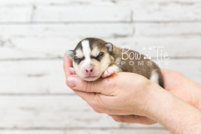 puppy58 week1 BowTiePomsky.com Bowtie Pomsky Puppy For Sale Husky Pomeranian Mini Dog Spokane WA Breeder Blue Eyes Pomskies web1