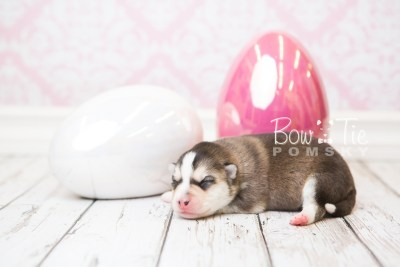puppy58 week1 BowTiePomsky.com Bowtie Pomsky Puppy For Sale Husky Pomeranian Mini Dog Spokane WA Breeder Blue Eyes Pomskies web5