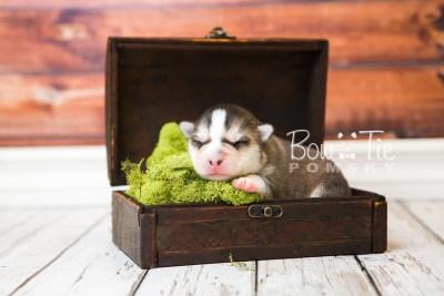 puppy58 week1 BowTiePomsky.com Bowtie Pomsky Puppy For Sale Husky Pomeranian Mini Dog Spokane WA Breeder Blue Eyes Pomskies web7