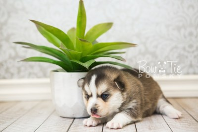 puppy58 week3 BowTiePomsky.com Bowtie Pomsky Puppy For Sale Husky Pomeranian Mini Dog Spokane WA Breeder Blue Eyes Pomskies web1