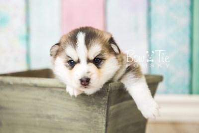 puppy58 week3 BowTiePomsky.com Bowtie Pomsky Puppy For Sale Husky Pomeranian Mini Dog Spokane WA Breeder Blue Eyes Pomskies web4