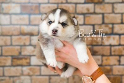 puppy58 week3 BowTiePomsky.com Bowtie Pomsky Puppy For Sale Husky Pomeranian Mini Dog Spokane WA Breeder Blue Eyes Pomskies web5