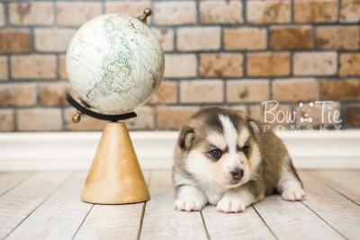 puppy58 week3 BowTiePomsky.com Bowtie Pomsky Puppy For Sale Husky Pomeranian Mini Dog Spokane WA Breeder Blue Eyes Pomskies web6