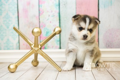 puppy58 week5 BowTiePomsky.com Bowtie Pomsky Puppy For Sale Husky Pomeranian Mini Dog Spokane WA Breeder Blue Eyes Pomskies web2