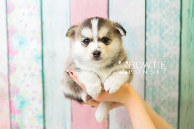 puppy58 week5 BowTiePomsky.com Bowtie Pomsky Puppy For Sale Husky Pomeranian Mini Dog Spokane WA Breeder Blue Eyes Pomskies web4