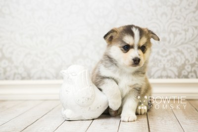 puppy58 week5 BowTiePomsky.com Bowtie Pomsky Puppy For Sale Husky Pomeranian Mini Dog Spokane WA Breeder Blue Eyes Pomskies web6
