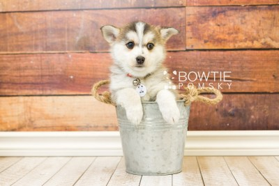 puppy58 week7 BowTiePomsky.com Bowtie Pomsky Puppy For Sale Husky Pomeranian Mini Dog Spokane WA Breeder Blue Eyes Pomskies web4