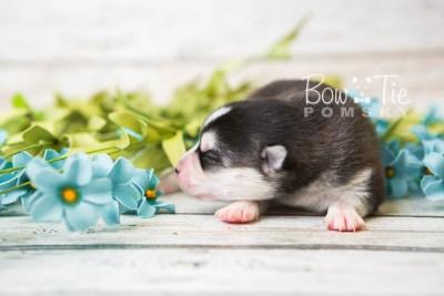 puppy59 week1 BowTiePomsky.com Bowtie Pomsky Puppy For Sale Husky Pomeranian Mini Dog Spokane WA Breeder Blue Eyes Pomskies web4