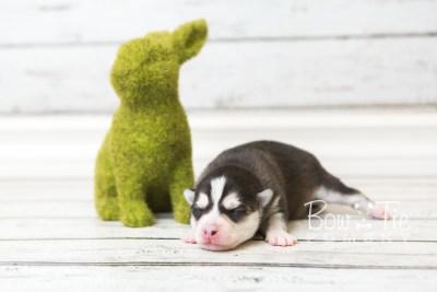 puppy59 week1 BowTiePomsky.com Bowtie Pomsky Puppy For Sale Husky Pomeranian Mini Dog Spokane WA Breeder Blue Eyes Pomskies web5