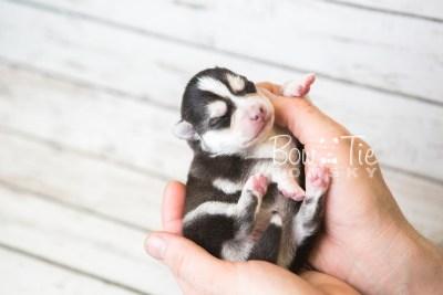 puppy59 week1 BowTiePomsky.com Bowtie Pomsky Puppy For Sale Husky Pomeranian Mini Dog Spokane WA Breeder Blue Eyes Pomskies web6
