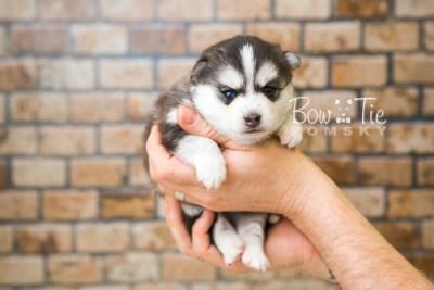 puppy59 week3 BowTiePomsky.com Bowtie Pomsky Puppy For Sale Husky Pomeranian Mini Dog Spokane WA Breeder Blue Eyes Pomskies web2