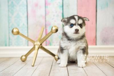 puppy59 week5 BowTiePomsky.com Bowtie Pomsky Puppy For Sale Husky Pomeranian Mini Dog Spokane WA Breeder Blue Eyes Pomskies web1