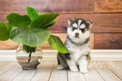 puppy59 week5 BowTiePomsky.com Bowtie Pomsky Puppy For Sale Husky Pomeranian Mini Dog Spokane WA Breeder Blue Eyes Pomskies web4