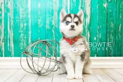 puppy59 week7 BowTiePomsky.com Bowtie Pomsky Puppy For Sale Husky Pomeranian Mini Dog Spokane WA Breeder Blue Eyes Pomskies web2