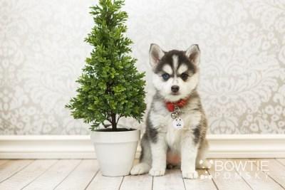puppy59 week7 BowTiePomsky.com Bowtie Pomsky Puppy For Sale Husky Pomeranian Mini Dog Spokane WA Breeder Blue Eyes Pomskies web5