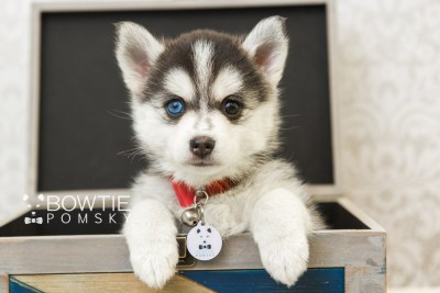 puppy59 week7 BowTiePomsky.com Bowtie Pomsky Puppy For Sale Husky Pomeranian Mini Dog Spokane WA Breeder Blue Eyes Pomskies web6