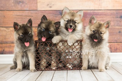 puppy60-67 week7 BowTiePomsky.com Bowtie Pomsky Puppy For Sale Husky Pomeranian Mini Dog Spokane WA Breeder Blue Eyes Pomskies girls web