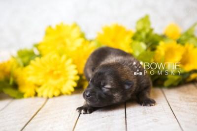 puppy60 week1 BowTiePomsky.com Bowtie Pomsky Puppy For Sale Husky Pomeranian Mini Dog Spokane WA Breeder Blue Eyes Pomskies web2