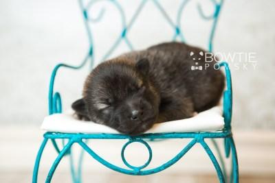 puppy60 week1 BowTiePomsky.com Bowtie Pomsky Puppy For Sale Husky Pomeranian Mini Dog Spokane WA Breeder Blue Eyes Pomskies web4
