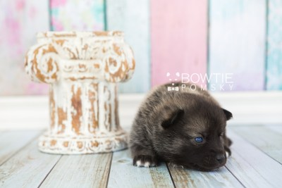 puppy60 week3 BowTiePomsky.com Bowtie Pomsky Puppy For Sale Husky Pomeranian Mini Dog Spokane WA Breeder Blue Eyes Pomskies web1