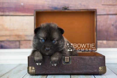 puppy60 week3 BowTiePomsky.com Bowtie Pomsky Puppy For Sale Husky Pomeranian Mini Dog Spokane WA Breeder Blue Eyes Pomskies web4
