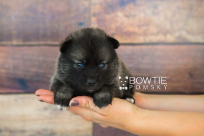 puppy60 week3 BowTiePomsky.com Bowtie Pomsky Puppy For Sale Husky Pomeranian Mini Dog Spokane WA Breeder Blue Eyes Pomskies web6
