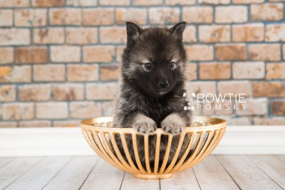 puppy60 week5 BowTiePomsky.com Bowtie Pomsky Puppy For Sale Husky Pomeranian Mini Dog Spokane WA Breeder Blue Eyes Pomskies web1