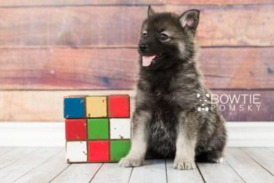 puppy60 week7 BowTiePomsky.com Bowtie Pomsky Puppy For Sale Husky Pomeranian Mini Dog Spokane WA Breeder Blue Eyes Pomskies web1