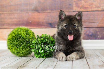 puppy60 week7 BowTiePomsky.com Bowtie Pomsky Puppy For Sale Husky Pomeranian Mini Dog Spokane WA Breeder Blue Eyes Pomskies web3