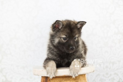 puppy60 week7 BowTiePomsky.com Bowtie Pomsky Puppy For Sale Husky Pomeranian Mini Dog Spokane WA Breeder Blue Eyes Pomskies web4